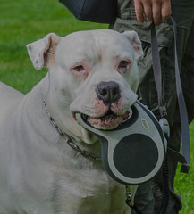 Portrait of an Olde English bulldogge (frankmh) Tags: animal dog oldeenglishbulldogge sofiero helsingborg skåne sweden
