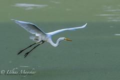 Great Egret (mayekarulhas) Tags: great egret bird avian wildlife canon canon500mm canon1dxmark2 johnheinznaturereserve