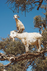 Argan Goats (MariaD'Souza) Tags: goats animals nature travel wildlife landscape mothernature scenery vogue italia