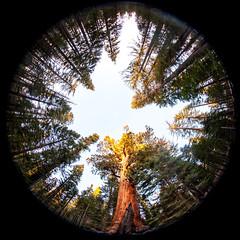 Grizzly Giant (Thomas Hawk) Tags: america california mariposagrove nationalpark newyearseve newyearseve2011 sequoia usa unitedstates unitedstatesofamerica yosemite yosemitenationalpark giantsequoias sequoiagrove sequoias tree fav10 fav25