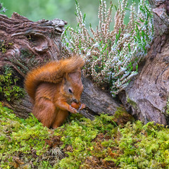 Little Red (Margaret S.S) Tags: red squirrel cute nut hazelnut