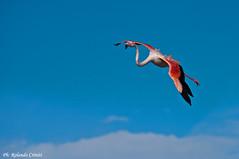 Fenicottero _041 (Rolando CRINITI) Tags: fenicottero fenicotterorosa uccelli uccello birds ornitologia camargue camargue2014 saintesmariesdelamer natura