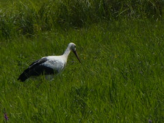 Storch (Angelika Buldt) Tags: storch wiese