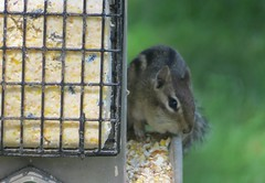 Chipmunk Feeder (pirate johnny) Tags: chipmunk birdfeeder