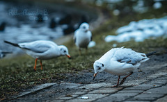 Hey (Radu-Alexandru) Tags: birds feeding winter porst135mm sony5000 bucharest park lake romania visit travel wildlife nature