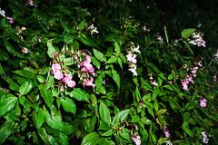 flower by the river (billdsym) Tags: annan scotland flower riverside flash sony a6000