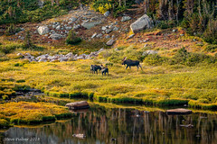 The Rut Approaches (Pulver41) Tags: bullmoose moose fall fallcolor mountains colorado indianpeakswilderness bluelake mooserut nature wildlife canon70d canon70200f4 water animals