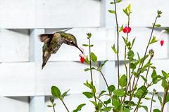 Humming in the Backyard (Warp Factor) Tags: annashummingbird birdsinflight canont4i hummingbird summer2018 tamron70200f28 backyard birds salviaplant hotlips hotlipssalviaplant