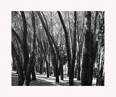 Casa de Campo (BLANCA GOMEZ) Tags: spain madrid casadecampo park parque nature trees shadows light silhouettes patterns bw blackwhite arquitectura architecture