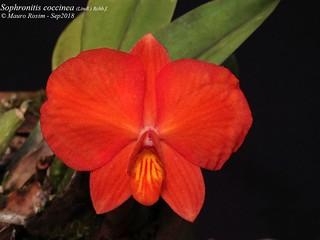 Sophronitis coccinea (Lindl.) Rchb.f.