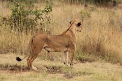 Yonder (Nagarjun) Tags: lioness nairobinationalpark kenya eastafrica wildlife carnivore bigcat bigfive female safari gamedrive