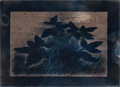 Cyanotypie (blasjaz) Tags: blasjaz botanik blätter sibirischewaldrebe plant pflanze cyanotypie cyanotypes