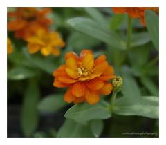Little orange. (natureflower) Tags: full bloom little orange flowers garden zinnia violacea cav