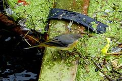 Grey Wagtail in Salisbury (Hythe Eye) Tags: greywagtail riveravon salisbury wiltshire