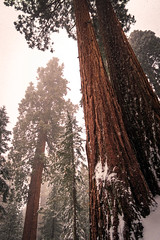 Towering Trees (Brady Baker) Tags: california sequoia national park travel usa giant tree forest snow trunk bark coniferous lowangle perspective tall towering nature outdoor winter snowing