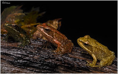 Semáforo (Neli Martin) Tags: chordata amphibia anura ranidae rana iberica patilarga pequeña amarillo rojo verde