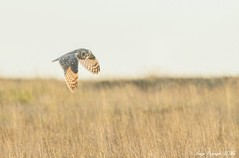 I spy prey.! (nondesigner59) Tags: shortearedowl asioflammeus hunting owl wildlife predator nature flight copyrightmmee eos7dmkii nondesigner nd59