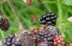 Dungfly adding flavour. (dave p brecks) Tags: blackberries yellowdungfly invertebrates panasonicdmcg80 olympus60mmmacro