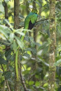 Resplendent Quetzal (Pharomachrus mocinno) - Male