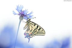 White Macaone (Simone Mazzoccoli) Tags: butterfly macro nature wild wildlife hk white outdoor flower spring