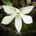 [Fiji] Dendrobium prasinum Lindl., J. Proc. Linn. Soc., Bot. 3: 11 (1858)