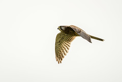 Female Kestrel flying (Paul_Collins53) Tags: female kestrel flying rspb old moor wild bird nikon d850
