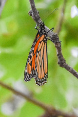 DSC_9971 (greenjay2) Tags: butterflies insects monarchdanausplexippus