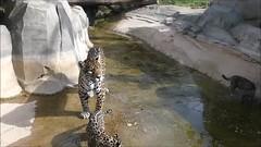 Simara, Aloha et Lenca (Raymonde Contensous) Tags: parczoologiquedeparis zoodevincennes jaguars félins félidés animaux nature video fabuleuse