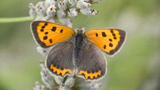 Small Copper booty