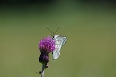 Baumweißling (Aah-Yeah) Tags: baumweisling black veined aporia crataegi schmetterling butterfly schmetterlinge achental chiemgau bayern