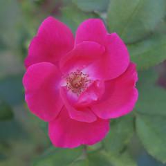 Shady Simple (Modkuse) Tags: rose shade flower natural nature provia fujifilmxt2provia fujifilm art photoart xt2 xf1855mmf284rlmois fujinonxf1855mmf284rlmois nopostprocessing