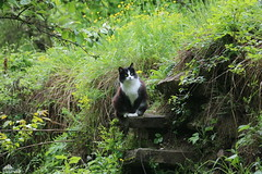 Ziva On The 150 Years Old Stone Stairs (Xena*best friend*) Tags: zivadavid zd rebel ef flickr outdoor animal pet photo nature cats whiskers feline katzen gatto gato chats furry fur pussycat feral tiger pets kittens kitty animals piedmontitaly piemonte canoneos760d italy wood woods wildanimals wild paws calico markings ©allrightsreserved purr digitalrebelt6s canonef70300mm