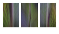 Canna Triptych (muddlemaker1967) Tags: cannalily triptych summer 2018 colours plant leaves icm fujifilm xt1 tamron sp 90mm f25 macro lens 52bb fotodiox adapter backlighting