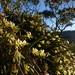 2016-09-27 Bicheno Lookout Rock 25 - Dockrillia striolata - Yellow rock orchid flowers