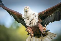 Full-Resolution 6K File (mark galer) Tags: birdsofprey icbp 6k sonyalpha a9