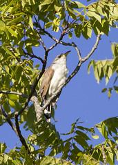 Yellow-billed Cuckoo (Polytelis) Tags: coccyzusamericanus yellowbilledcuckoo bird forest singingwoodsnaturepreserve