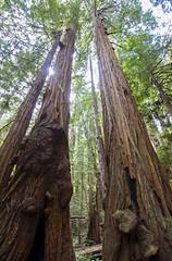 Redwood paradise [VI] (Olivier So) Tags: usa california marincounty muirwoods goldengatenationalrecreationarea woods redwoods tree nature bayarea sequoia