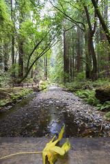 Redwood paradise [III] (Olivier So) Tags: usa california marincounty muirwoods goldengatenationalrecreationarea woods redwoods tree nature bayarea sequoia
