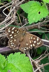 Speckled Wood (Chris Baines) Tags: speckled wood butterfly stutton suffolk
