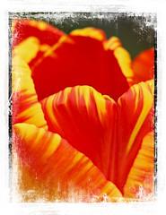 Tuliptime (Audrey A Jackson) Tags: canon450 flower tulip garden nature petals colour red yellow