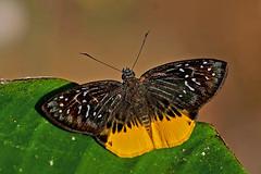 Mooreana trichoneura - the Yellow Flat (BugsAlive) Tags: butterfly mariposa papillon farfalla 蝴蝶 schmetterling бабочка conbướm ผีเสื้อ animal outdoor insects insect lepidoptera macro nature hesperiidae mooreanatrichoneura yellowflat pyrginae wildlife doisutheppuinp chiangmai ผีเสื้อในประเทศไทย liveinsects thailand thailandbutterflies nikon105mm bugsalive ผีเสื้อเชิงเหลือง