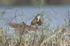 DSC_1104 (P2 New) Tags: 2012 animaux date guyane kourou novembre oiseaux passériformes pays tyran tyrankikivi tyrannidae