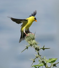 Thorny Proposition (Slow Turning) Tags: spinustristis americangoldfinch male bird perched wings flower bud thistle prickles summer southernontario canada