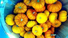 Little Pumpkin Season (EmperorNorton47) Tags: ranchosantamargarita traderjoes california photo digital summer harvest pumpkins squash market