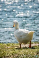 Lago di Mergozzo.... Geese (capellini.chiara) Tags: beach lagodimergozzo naturalezza natura nature animali animals geese oca