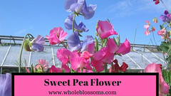 Enjoy your Wedding with sweet pea bouquet (wholeblossoms1234) Tags: sweetpeaflower pinksweetpeas sweetpeabouquet