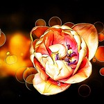 Toronto Ontario - Canada  - Edwards Garden -  Botanical Gardens -  Tulip  Bokehs thumbnail