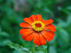 Zinnia elegans (R_Ivanova) Tags: nature flower flowers zinnia zinniaelegans plant garden outdoor colors color red green summer sony rivanova риванова цветя цвят цветно природа циния растения макро градина лято macro