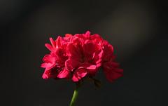 Standing in the dark (eric zijn fotoos) Tags: sonyrx10m3 macro flower bloem dark donker licht light flora nature natuur