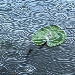 Happy rain (Robyn Hooz) Tags: rain ninfea lily cerchi gocce drops droplets foglia leaf acqua water waves onde padova